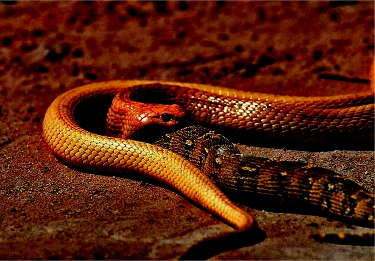 1000+ images about Snakes of the World on Pinterest | Pit ...  Tubercle Snake