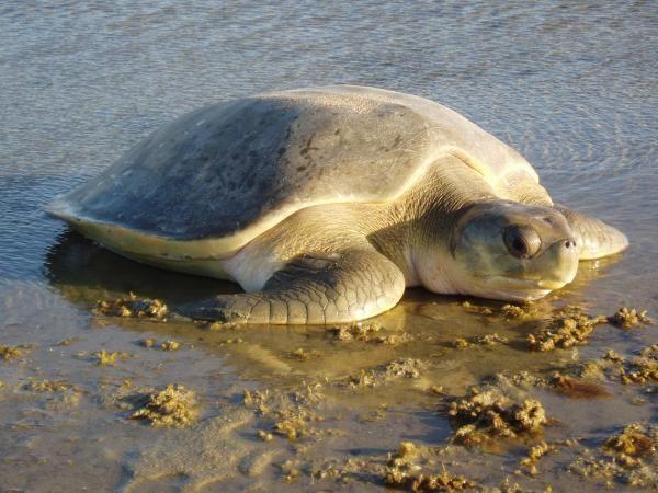 """Canvas Art Print /""""Australian Flatback Sea Turtle/"""""""