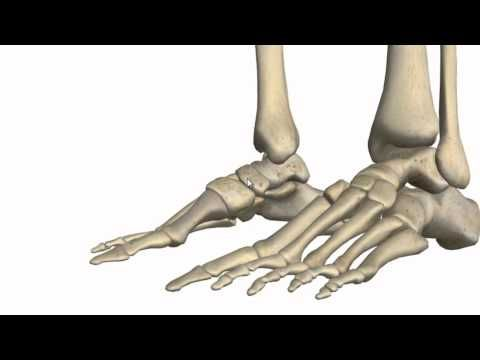 Ankle Joint | 3D anatomy tutorial on the ankle joint