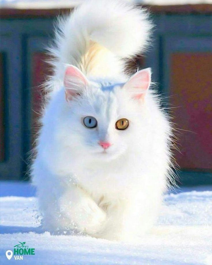 Other than ıt's white fur, notice what else is distinctive about, VanCats Please follow +Amazing things in the world​​ - Amazing things in the world - Google+