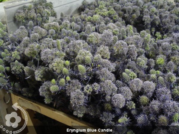 Eryngium+Blue+Candle (600×450)