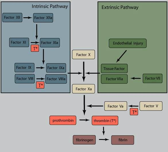 Stem Academy Pre Nursing Pathway: Coagulation Cascade