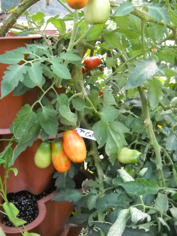 how to grow roma tomatoes in a pot
