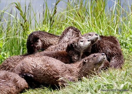 A whole pack of otters at Otter lake