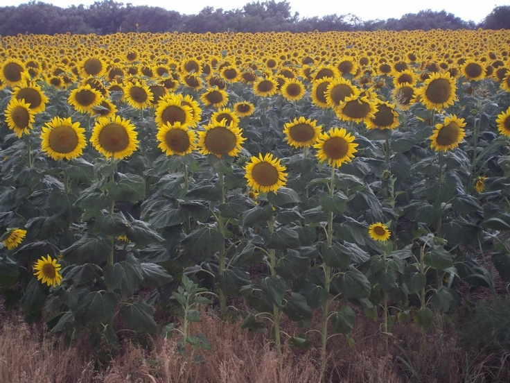 Roadside Sunflower Garden In Oklahoma.