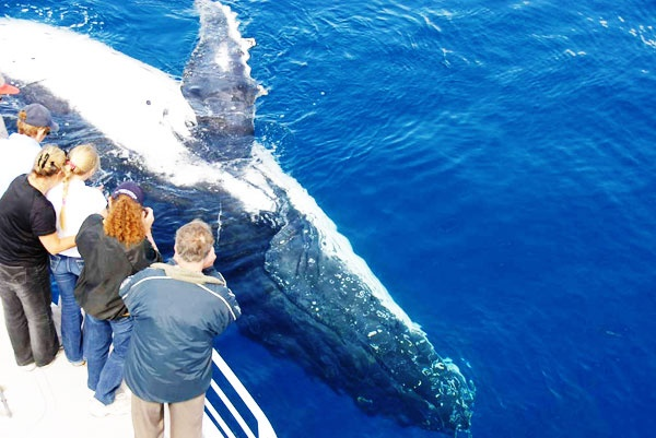 Whale Watching tour at Hervey Bay Australia