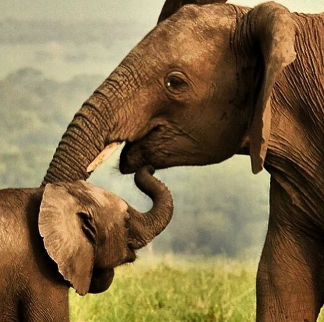 Mother Elephant And Her Baby Love Elephant Pictures Mother And Baby Animals Elephants Photos