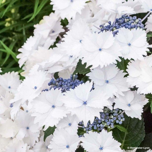 les 20 meilleures idées de la catégorie hortensia hydrangea sur