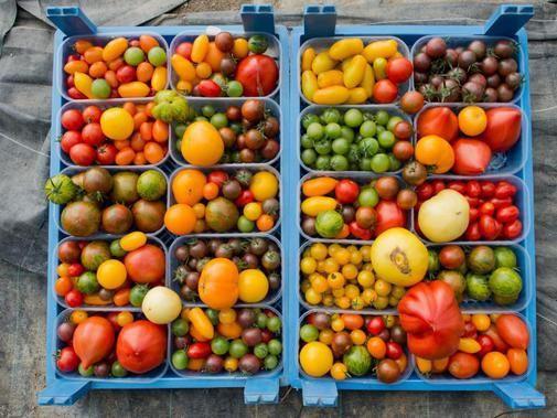 Tomaten müssen nicht rot sein, um gut zu schmecken. Auf seinen Hof in Wendhausen im Landkreis Hildesheim (Niedersachsen) pflanzt Bauer Sundermeyer beispielsweie über 300 verschiedene Tomatensorten in den unterschiedlichesten Farben an.
