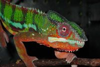 Chameleon facts