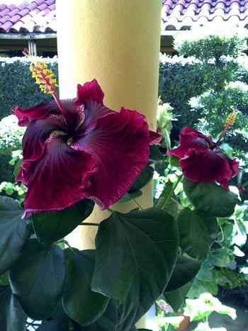 Hidden Valley Hibiscus Worldwide ~ Hibiscus Garden in the Dominican Republic