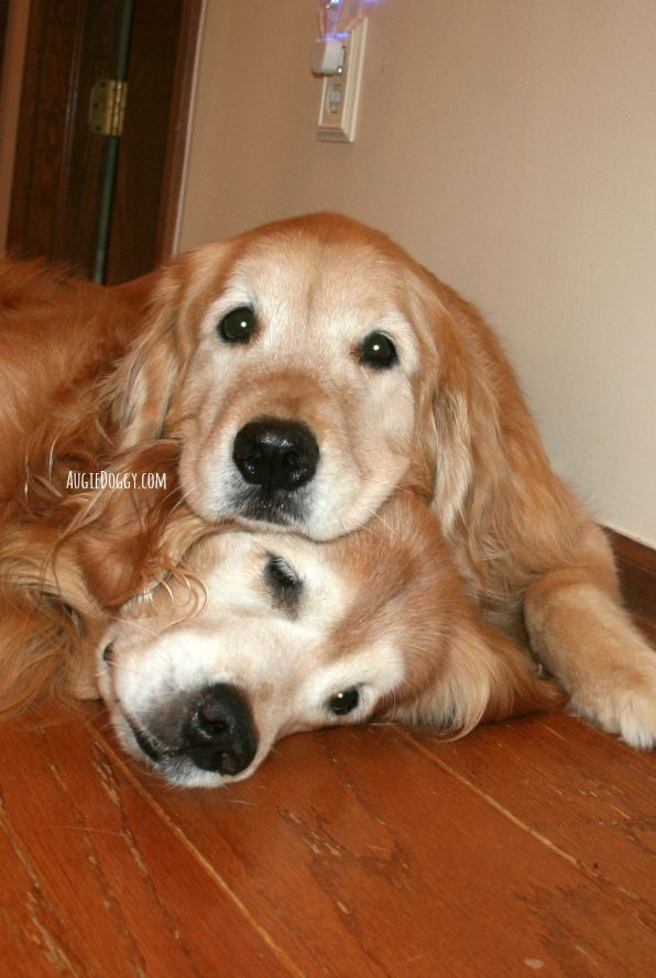 The perfect pillow! #goldenretriever