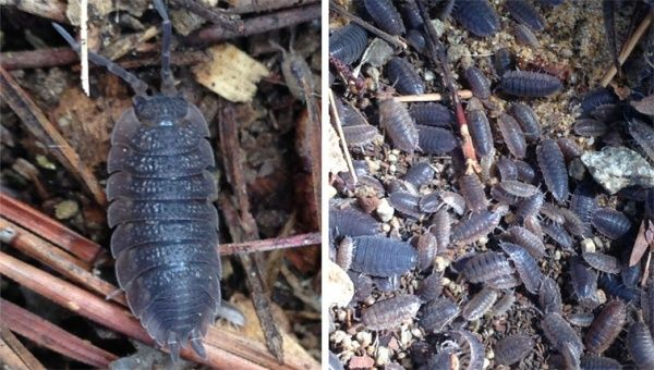 Insect » cesar australia