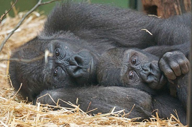 Image gratuite sur pixabay animaux primates singes gorille animaux pinterest animaux - Image animaux gratuite ...