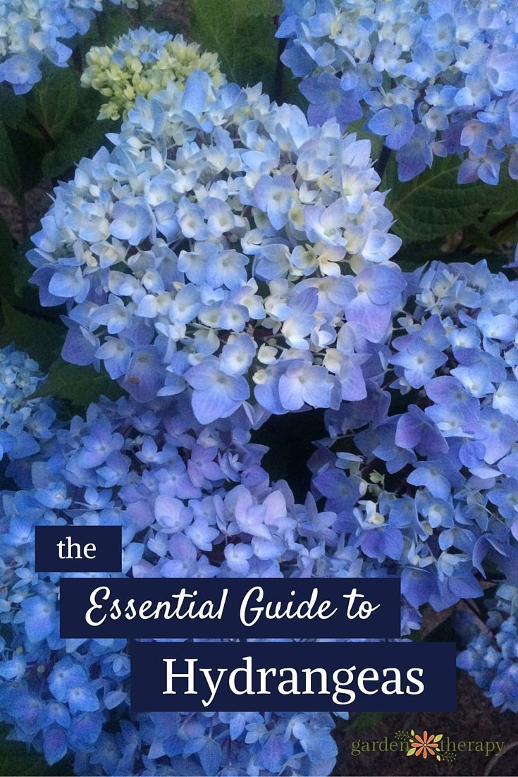 Here is a guide to all you need to know about hydrangeas: a description of the different types, how to change their color, drying projects, and more! #gardentherapy #hydrangea