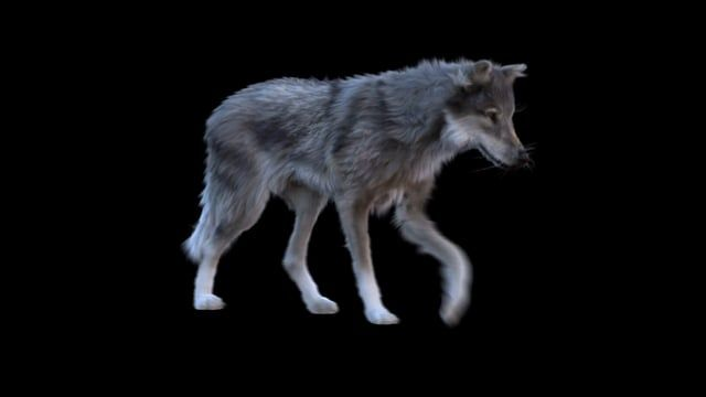 Character creation of a walking Wolf. Modeling, Rigging, Shading, Fur, Animation done in Maya. Arnold was used as the renderer.  www.3dcharacters.de