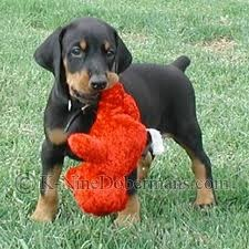 Doberman; Hes sooo cute!!