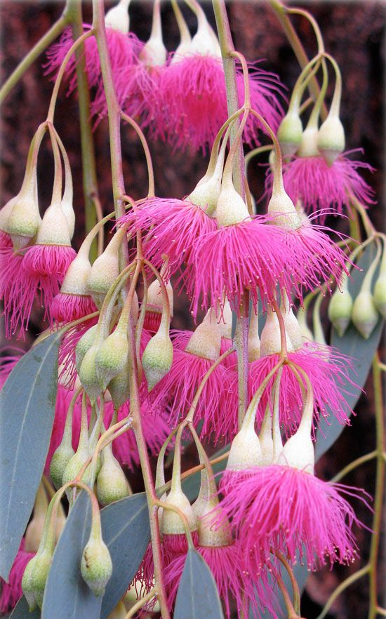 RED IRONBARK  Eucalyptus sideroxylon  which looks decidely PINK!