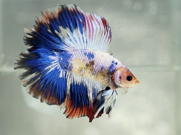 170 best images about . ... & Betta Fish Costume Ideas | Info