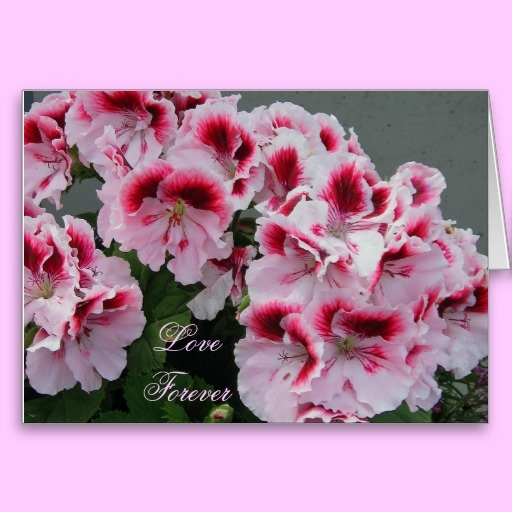 Love Forever Pelargonium Note Card  Love forever is the sweet refrain in your heart that the Pelargonium visually expresses