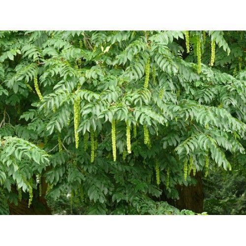 japaninsiipipähkinä pterocarya rhoifolia