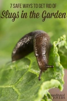 7 Safe Ways to Get Rid of Slugs in Your Garden- Slugs eat away at plants and can quickly destroy your garden. Here are 7 ways to eliminate them naturally.