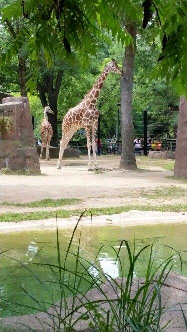 Milwaukee Zoo Giraffes