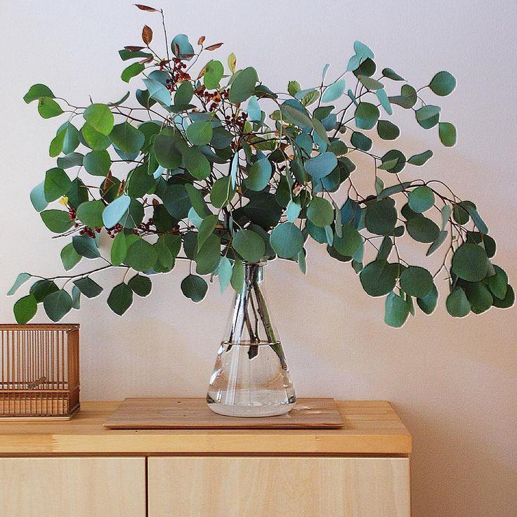 « 2015.11.6 . くるかこないか✉️ . この丸葉がかわいい ユーカリポポラス ユーカリの中でも 穏やかに成長すると聞いたけど 本当かしら… . それが本当なら 欲しいのだけど。 . 巨木になった人がいたら コメントください ⍤⃝ . . »