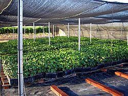 Jatropha España - Cultivos Energéticos - Proyecto Jatropha/Biodiesel