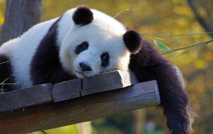 موقع بتوقيت بيروت اخبار لبنان و العالم Panda Panda Day Panda China