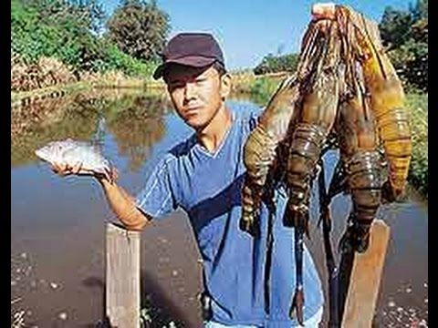 Dicas de Criação de camarão da malásia junto com tilápia