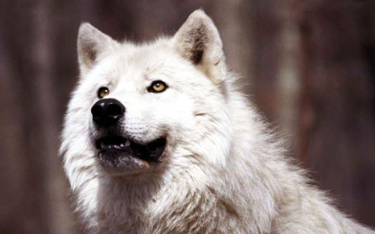 wolf hd 1920x1200