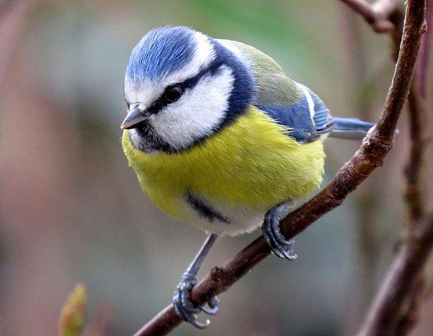 Fotograaf: jokevandepoppe      Categorie:Vogels (mus, valk, etc)      Nederlandse naam: Pimpelmees     Wetensch. naam: Parus caeruleus