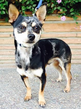 MUSHU!! <3 <3 Chihuahua • Young • Male • Small. Santa Cruz SPCA, CA.  1.5 yr. Santa Cruz SPCA's adoption pkg for dogs & cats includes spay/ neuter, vaccs, microchip/ registration, an ID tag, collar, coupons, free health exam, 30 days free pet health insurance & other animal care materials. Puppies under 1 yr $300, dogs over 1 yr $200, & senior dogs $150. If 6 yrs or more, they qualify for our Senior Pets For Senior People program. Neuter • Current on vaccs.