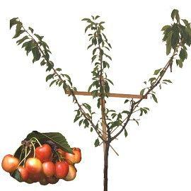Cerisier 'Bigarreau Napoléon' : taille en palmette oblique - Plantes et Jardins