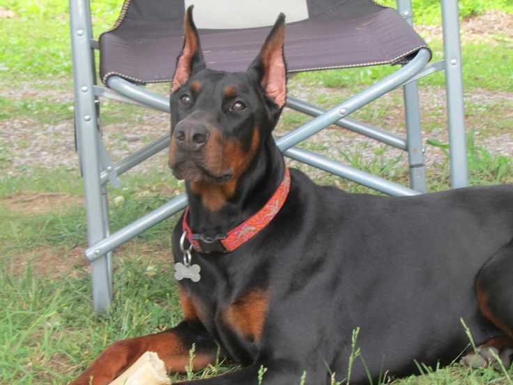 Doberman Puppies For Sale in Collinwood, Tennessee - Hoobly Classifieds