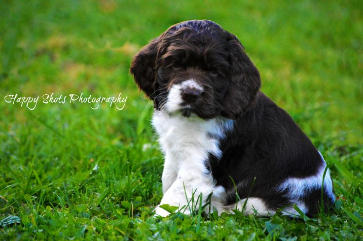 Baby Maverick 7 weeks old - Sprocker Spaniel