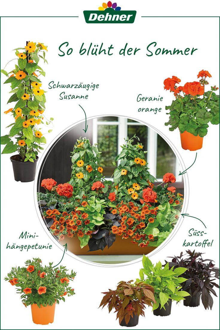 Sommerliche Pflanzenkomposition Blumenkasten Bepflanzen Balkon Pflanzen Pflanzen