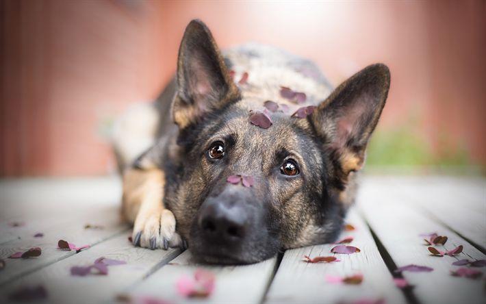 Lataa kuva Saksan Paimen Koira, lemmikit, koira, paimenet
