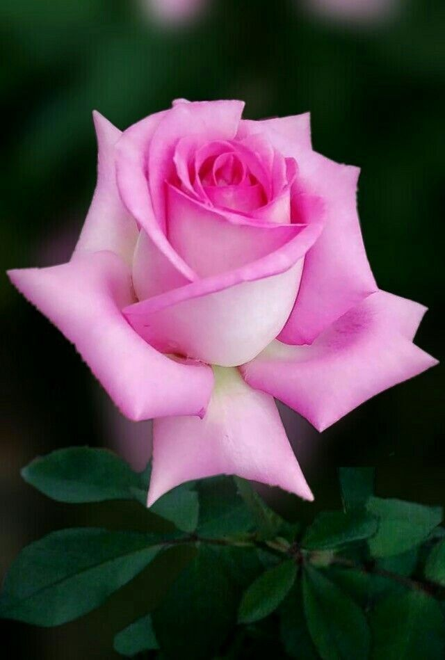 222 best Rosen images on Pinterest Pink flowers, All flowers and