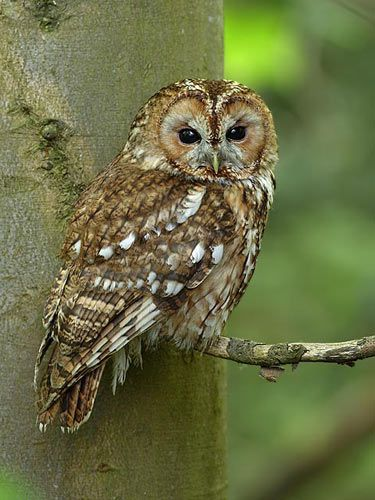 During my walk in the woods yesterday I looked up to see a Tawny Owl just feet from me. My heart stilled and I stood in awe......