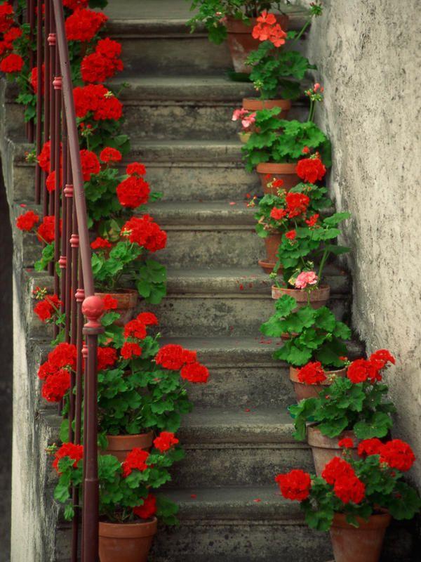 Floración-geranios                                                                                                                                                                                 Más