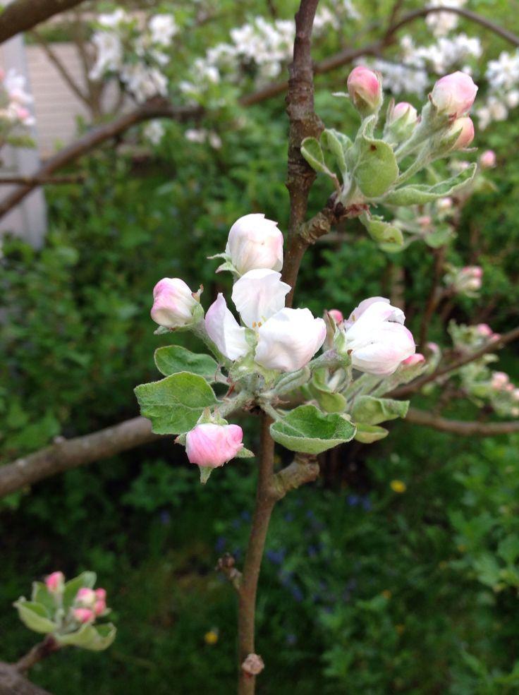 Omenan kukka omasta pihasta