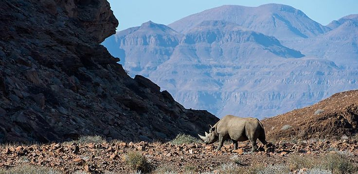 Namibia – Explore Sossusvlei, Etosha, Damaraland, Skeleton Coast | Wilderness Safaris lone rhino walks through a valley surrounded by mountain peaks