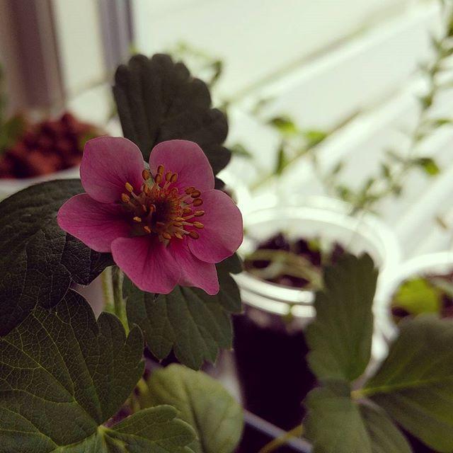 Dyrker #jordbær på kjøkkenbenken❤ #homegrown #hage #matfrabunnen #foodie #food #kkspis #strawberry #plants #plantbased