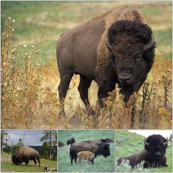 What's the Difference Between Bison and Buffalo ...