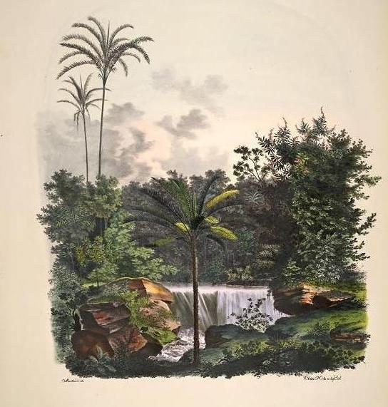 """carl fr. von martius - """"riacho da cachoeira, nas cercanias da barra do rio negro"""", in genera et species palmarum, 1823."""