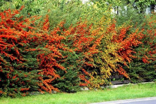 Типы живой изгороди. Подбор растений