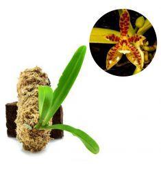 Phalaenopsis Cornu-Cervi Rp 155,000