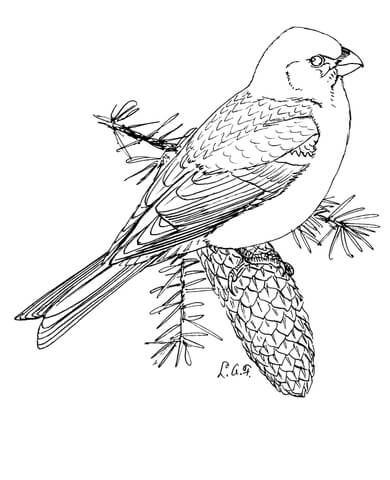 Pine Grosbeak Coloring Page From Category Select 24342 Printable Crafts Of Cartoons